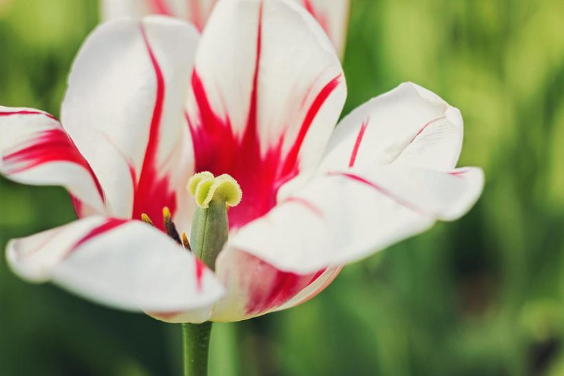 burning-heart-tulip-lisa-cann